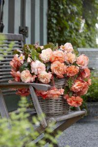 Pięknie kwitnące begonie na tarasie