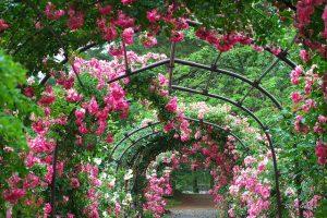 Tunel z kwitnących kwiatów na pergoli.