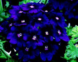 Werbena o mocnej niebieskiej barwie kwiatów.