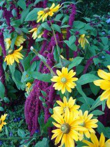 Rudbekie i amarantus