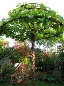 Pnącze winorośli
