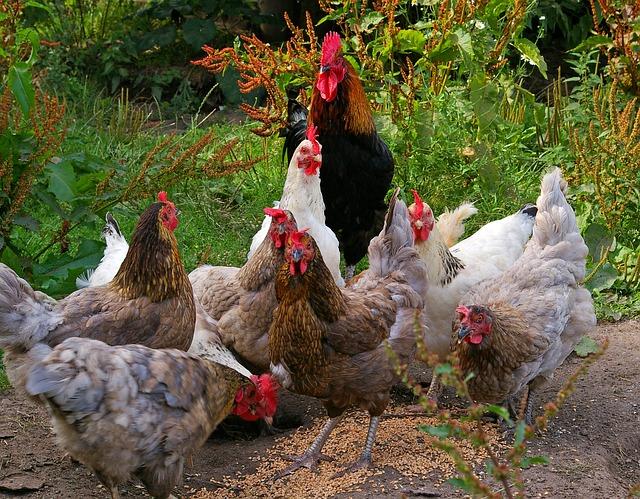 kurczaki zagrodowe