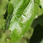 Żerowanie gąsienicy zwójki siatkóweczki