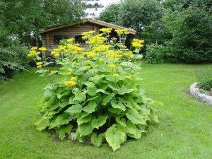 Wielkie ziele - oman wielki na trawniku w ogrodzie
