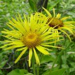 Oman pospolity, oman wielki ma piękne żółte kwiaty