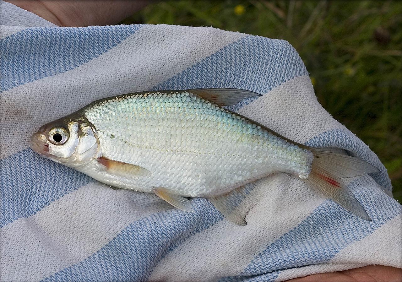 leszcz na ręczniku w biało niebieskie pasy
