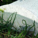 Osłona w agrowłókniny w ogrodzie warzywnym